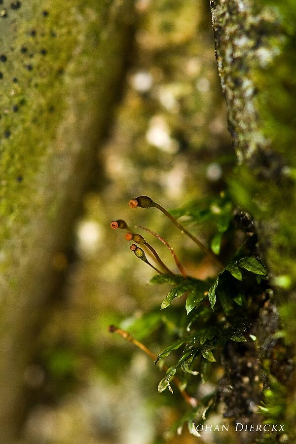 Fissidens gracilifolius