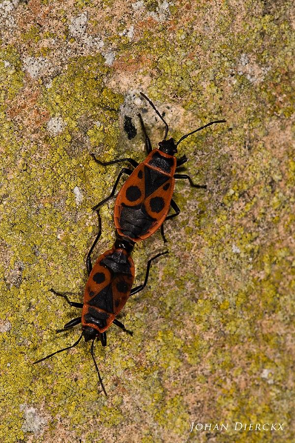 Pyrrhocoris apterus - mating