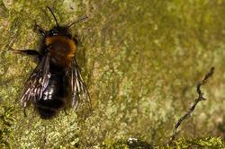 Andrena clarkella - female