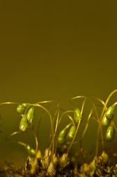 Funaria hygrometrica
