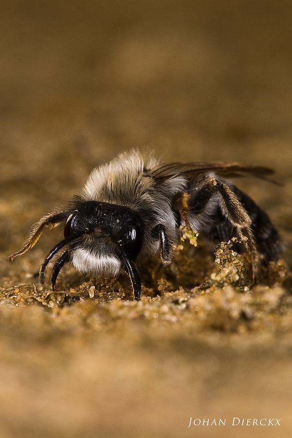 Andrena vaga - male