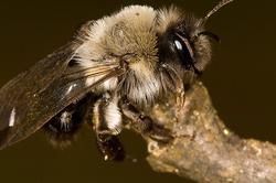 Andrena vaga - female