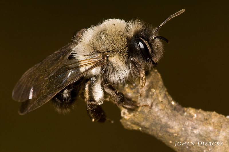 Andrena vaga - female