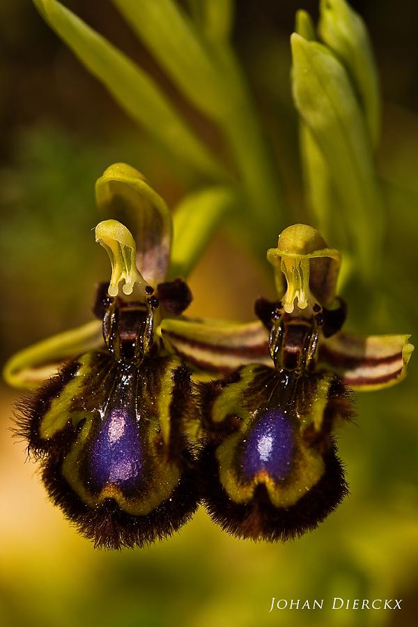Ophrys speculum subsp. speculum