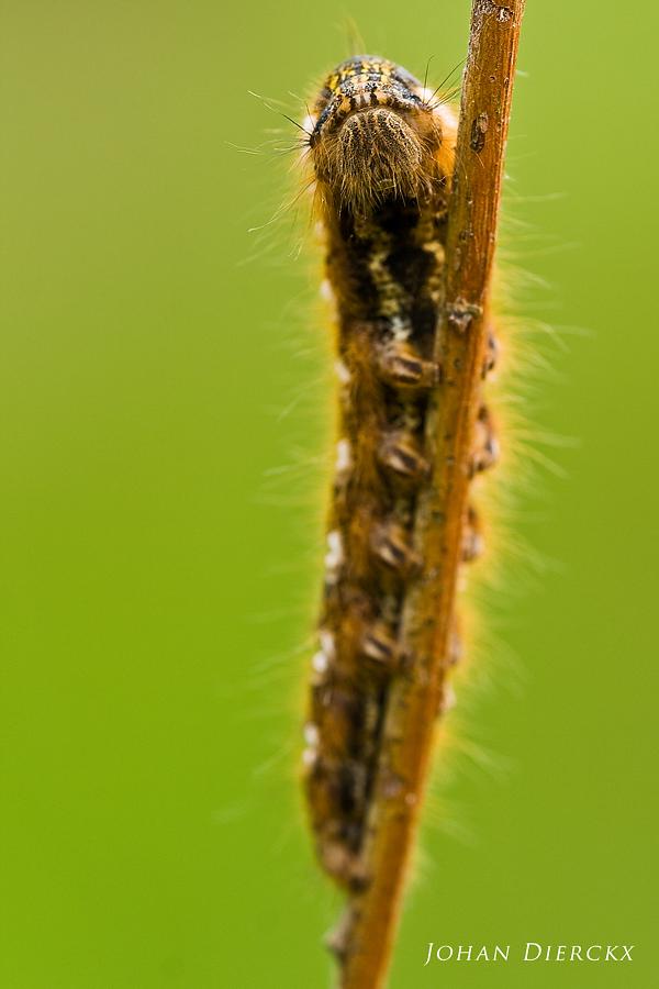 Euthrix potatoria - Caterpillar