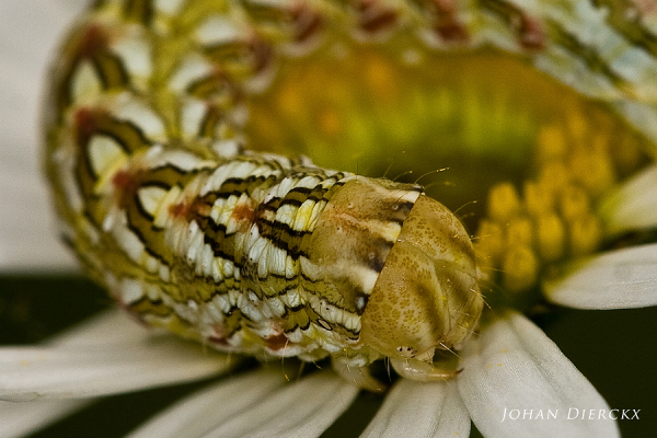Cucullia chamomillae - Caterpillar