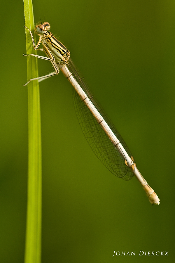 Platycnemis pennipes (F)