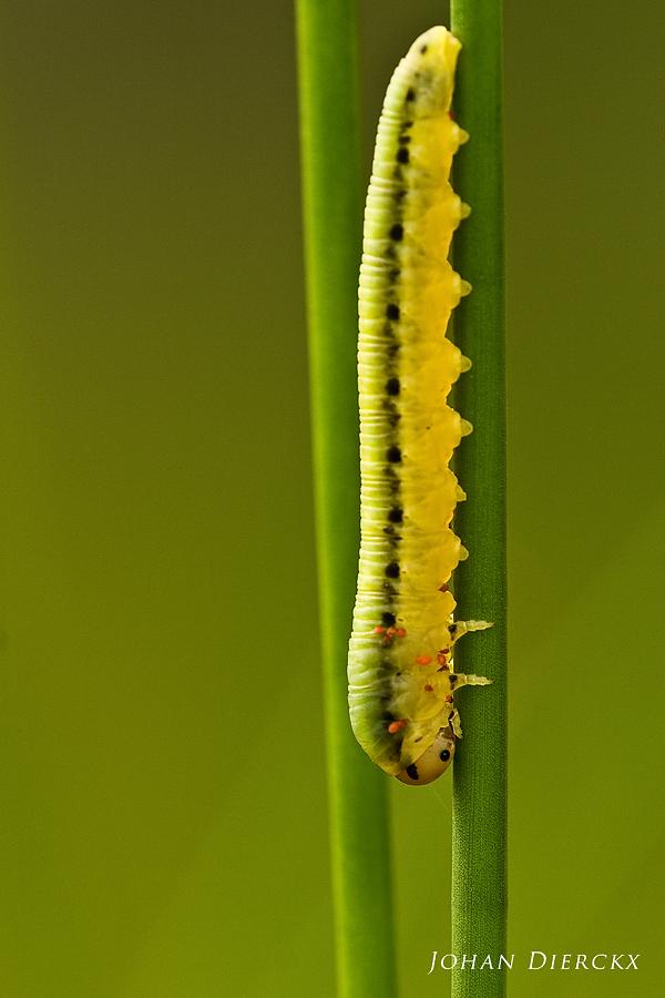 Tenthredinidae spec.