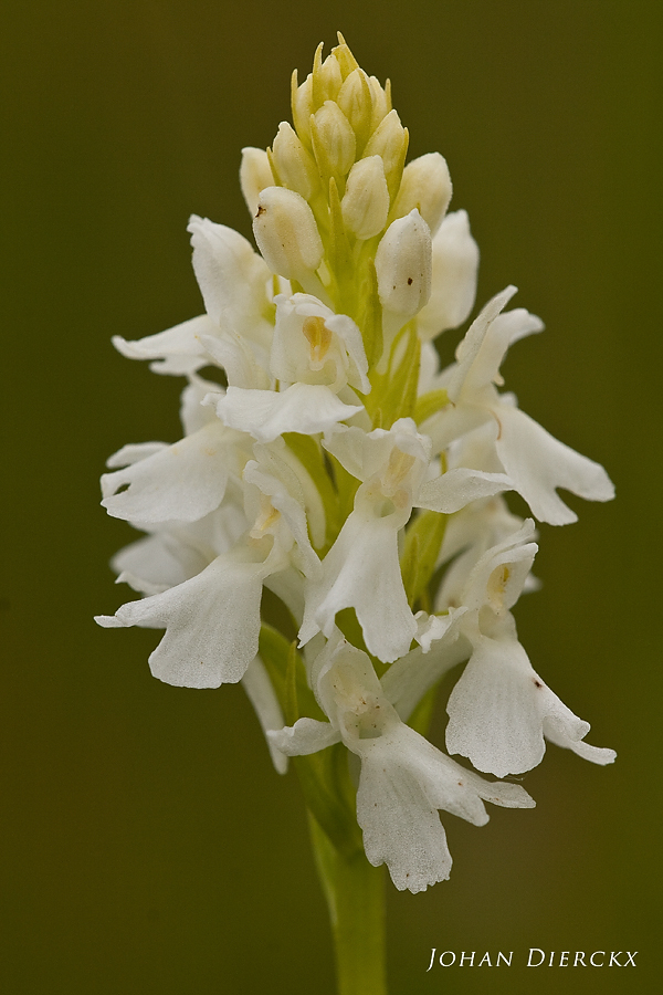 Dactylorhiza maculata f. alba