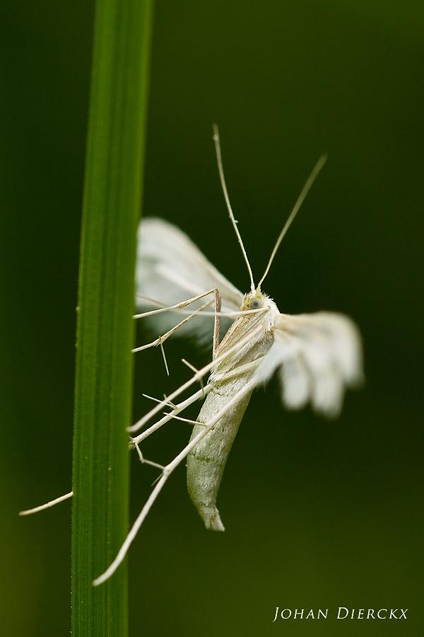 Pterophorus pentadactyla - sideview
