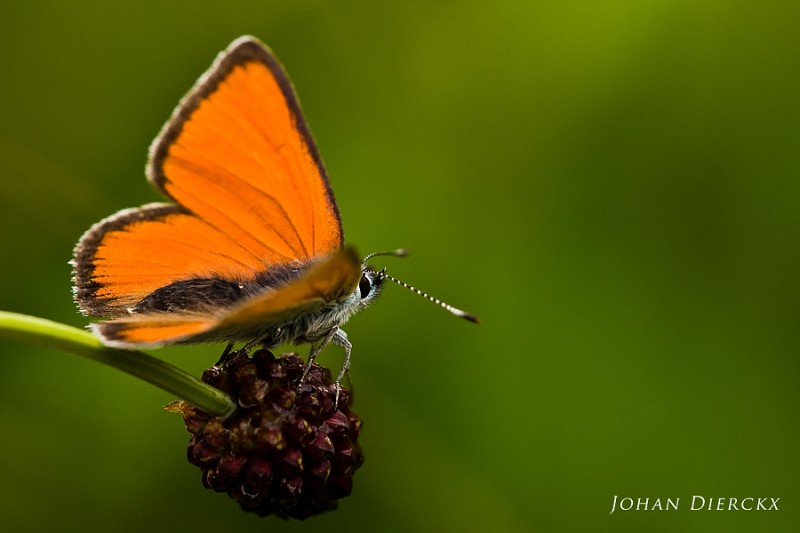 Lycaena hippothoe subsp. eurydame