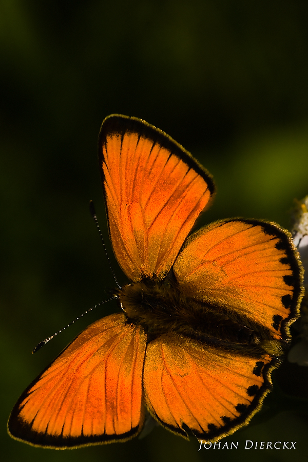 Lycaena virgaureae - male