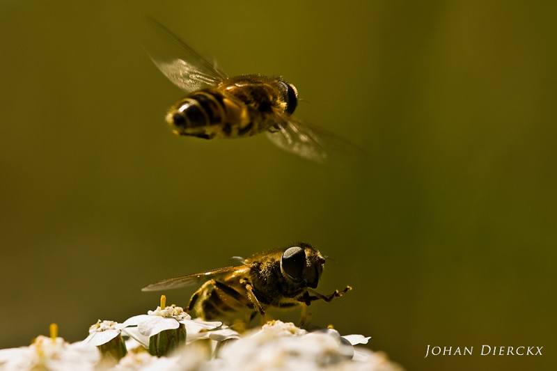 Eristalis interrupta - courtship display - #1/3