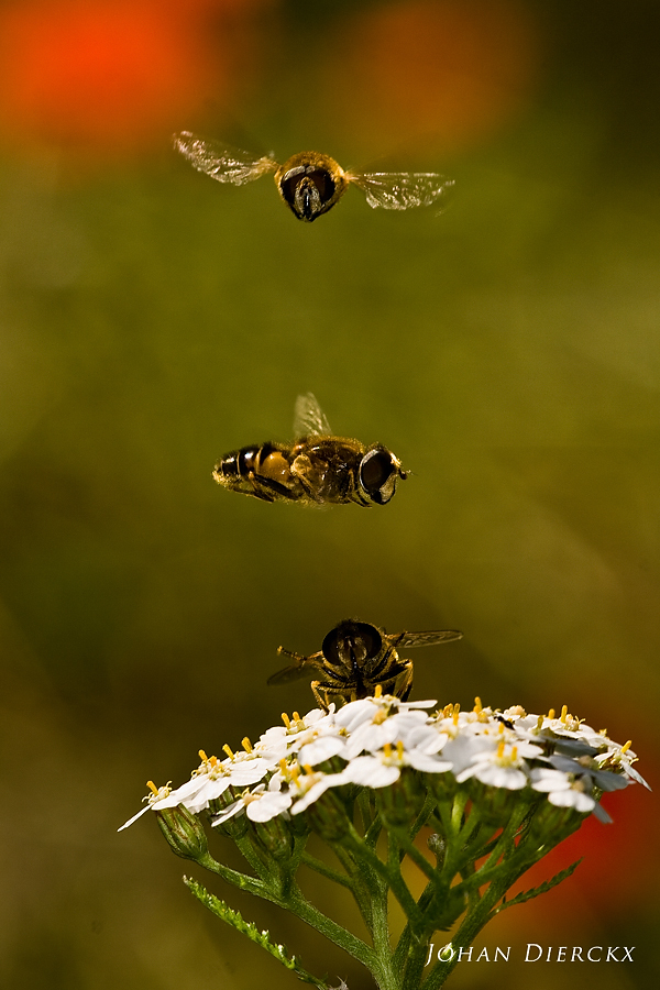 Eristalis interrupta: courtship display