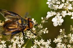 Phasia hemiptera (M)