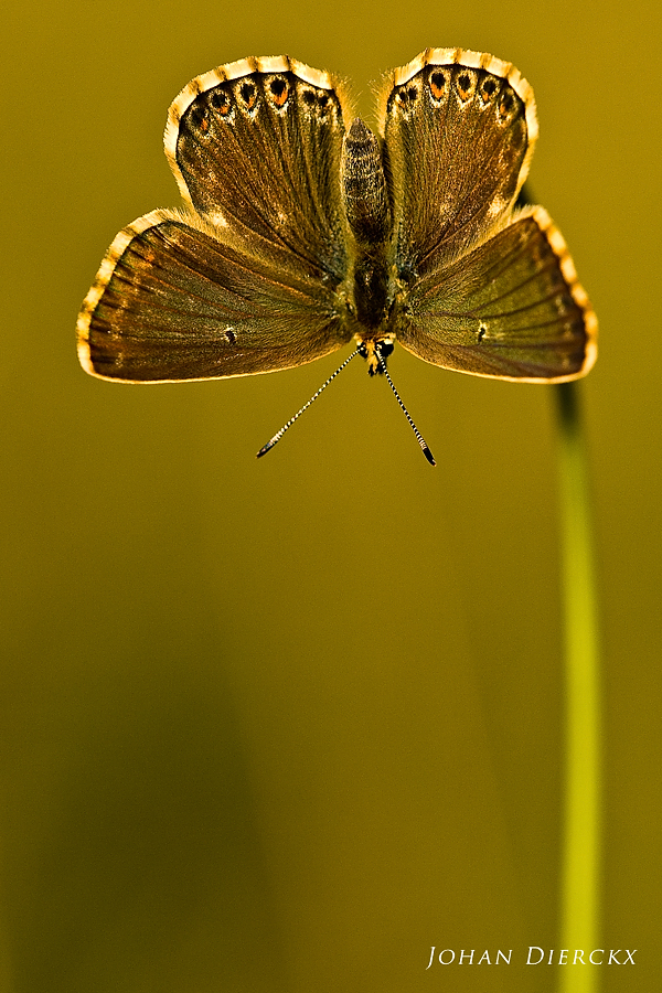 Polyommatus coridon (F)
