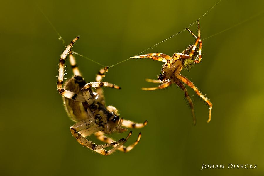 Araneus quadratus (F+M) - Courtship display