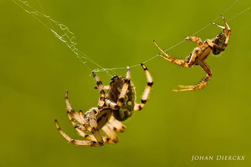 Araneus quadratus (F+M) - Rejection