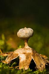 Geastrum pectinatum
