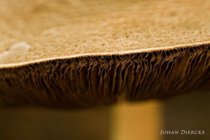 Agaricus augustus - detail