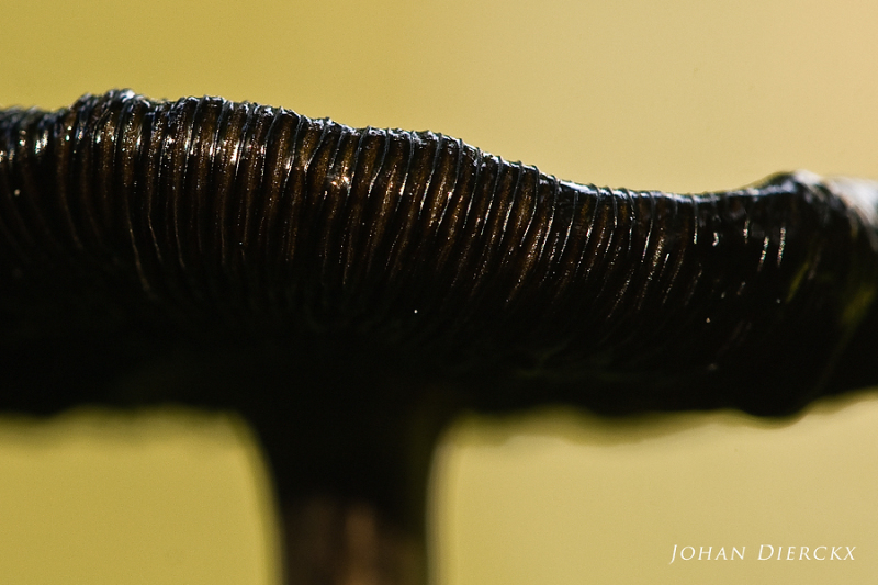 Coprinus comatus - deliquesce
