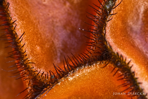 Scutellinia scutellata - detail