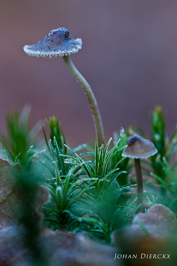 Mycena sp. - covered with ice