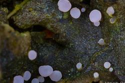 Roseodiscus formosus
