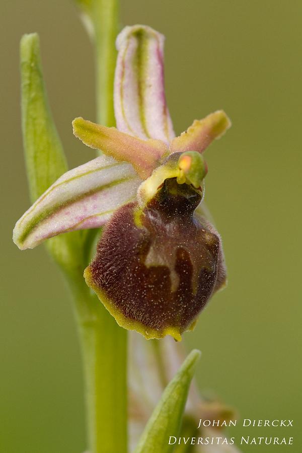 Ophrys archipelagi