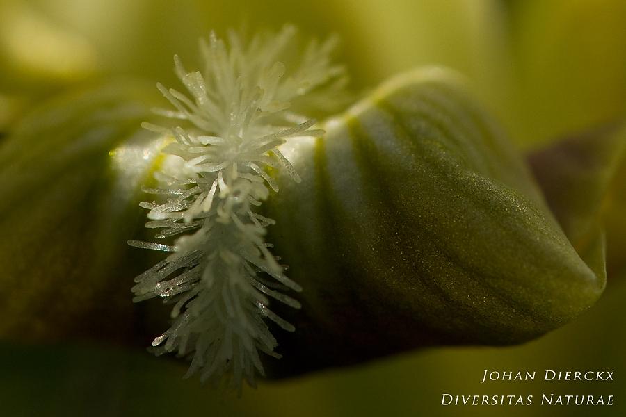 Iris pseudopumilla - detail