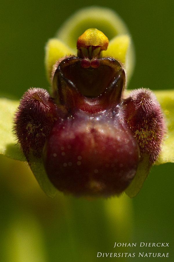 Ophrys bombyliflora - frontal view