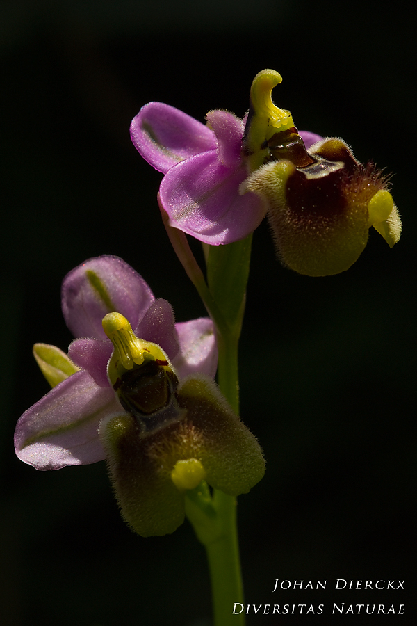 Ophrys neglecta