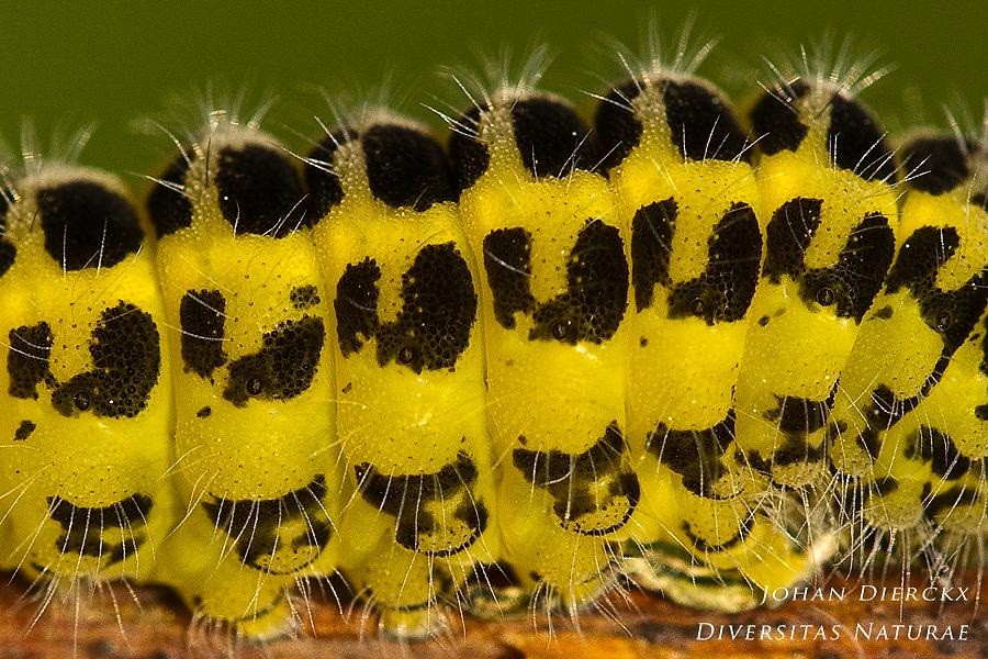 Zygaena filipendulae - Caterpillar