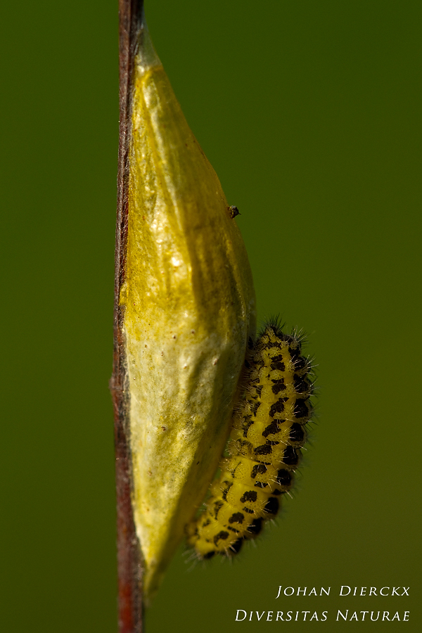 Zygaena filipendulae - Caterpillar and cocoon