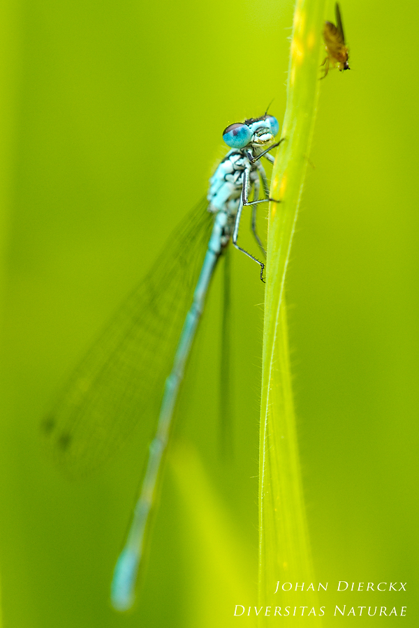 Coenagrion puella with brave fly