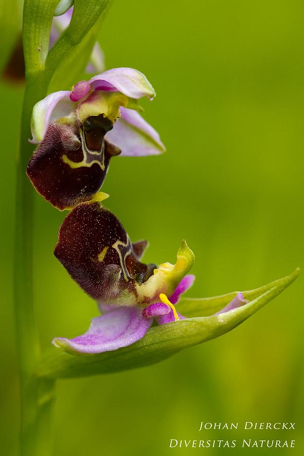 Ophrys holocericea