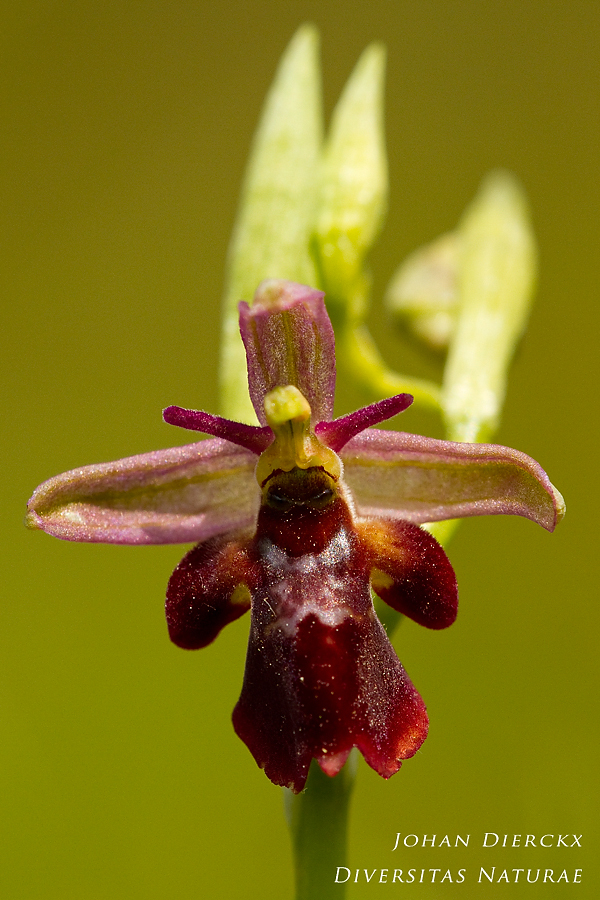 Ophrys xdevenensis #2