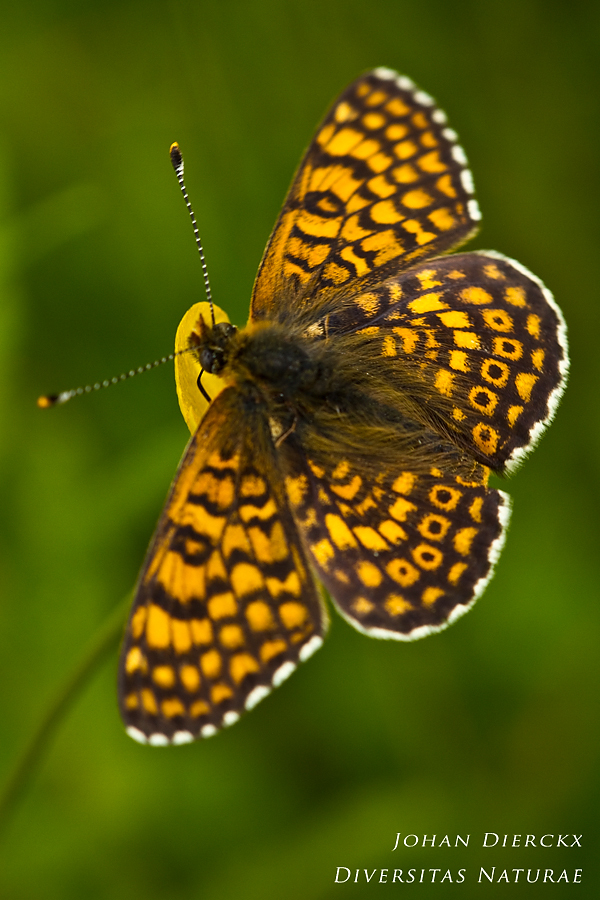 Melitaea cinxia - upper side