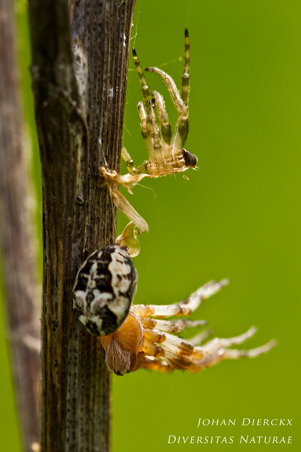 Larinioides cornutus - ecdysis: stage 5 / 7