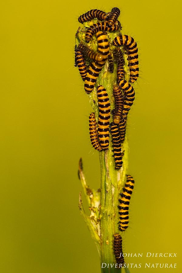Tyria jacobeae - caterpillars
