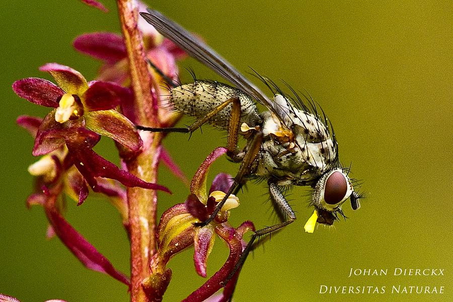 Fly pollinating Neottia cordata