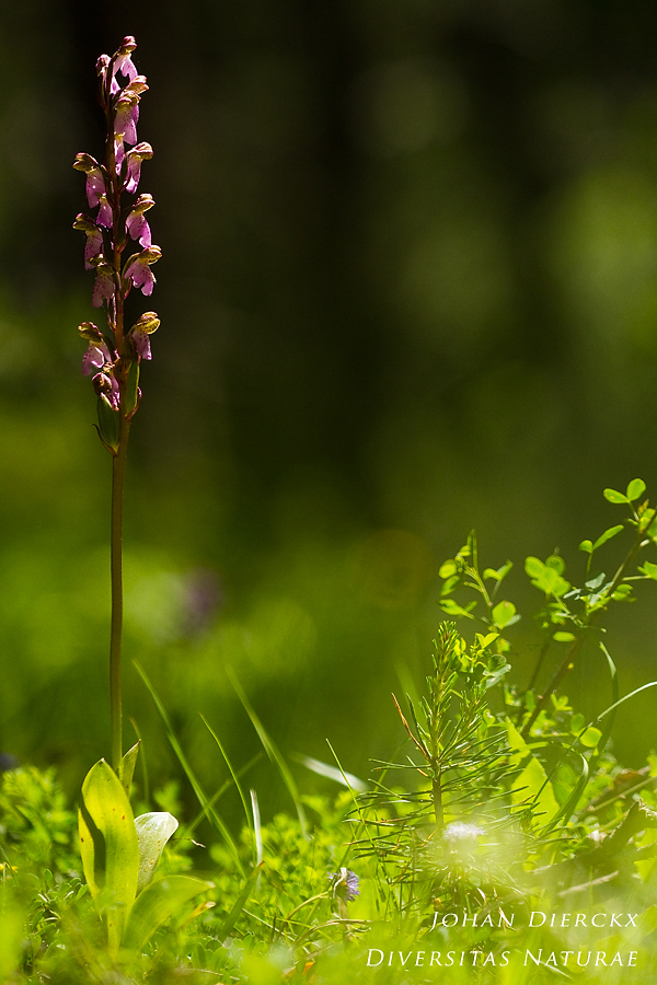 Orchis spizelii