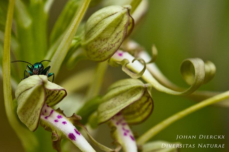 Himantoglossum hircinum
