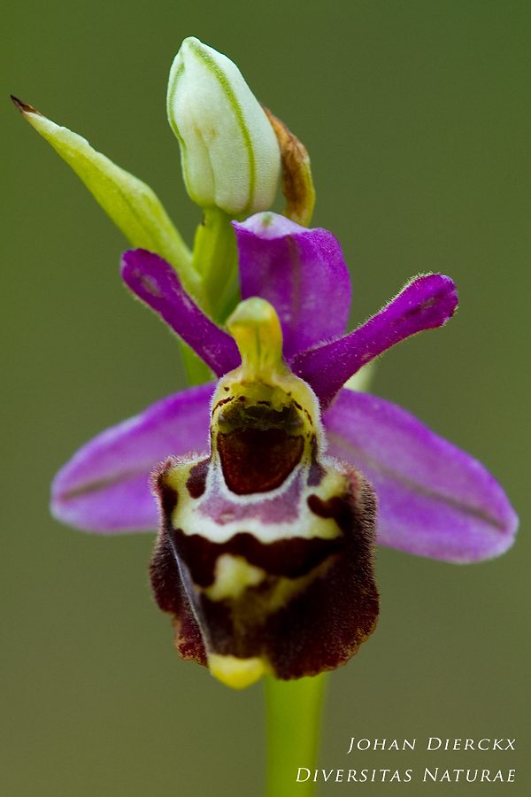 Ophrys montiliensis #2