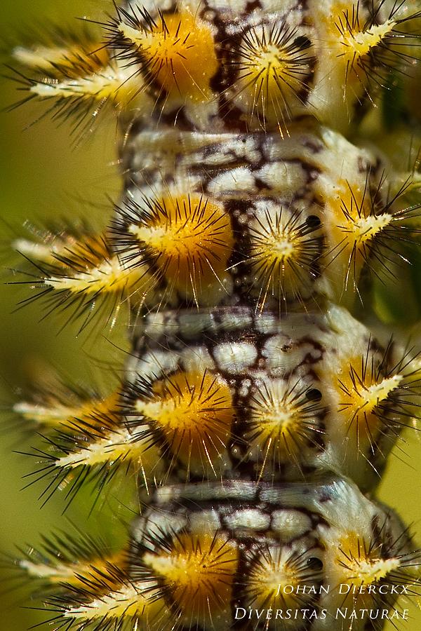 Melitaea didyma - Caterpillar