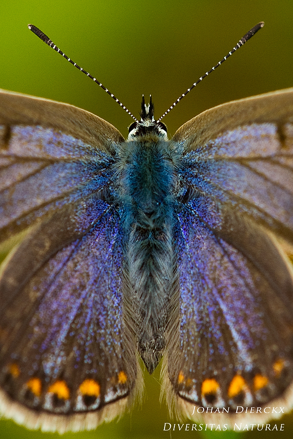 Polyommatus icarus - female