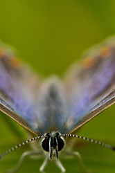 Polyommatus icarus - female - face to face