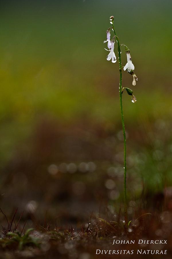 Lobelia dortmanna - total plant