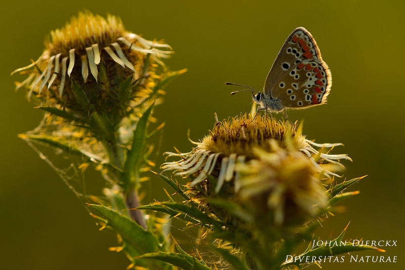 Aricia agestis on Carlina vulgaris