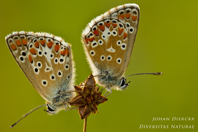 Aricia agestis  - preparing for the night together